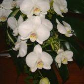 bouquet sposa a fascio di phaleonopsis