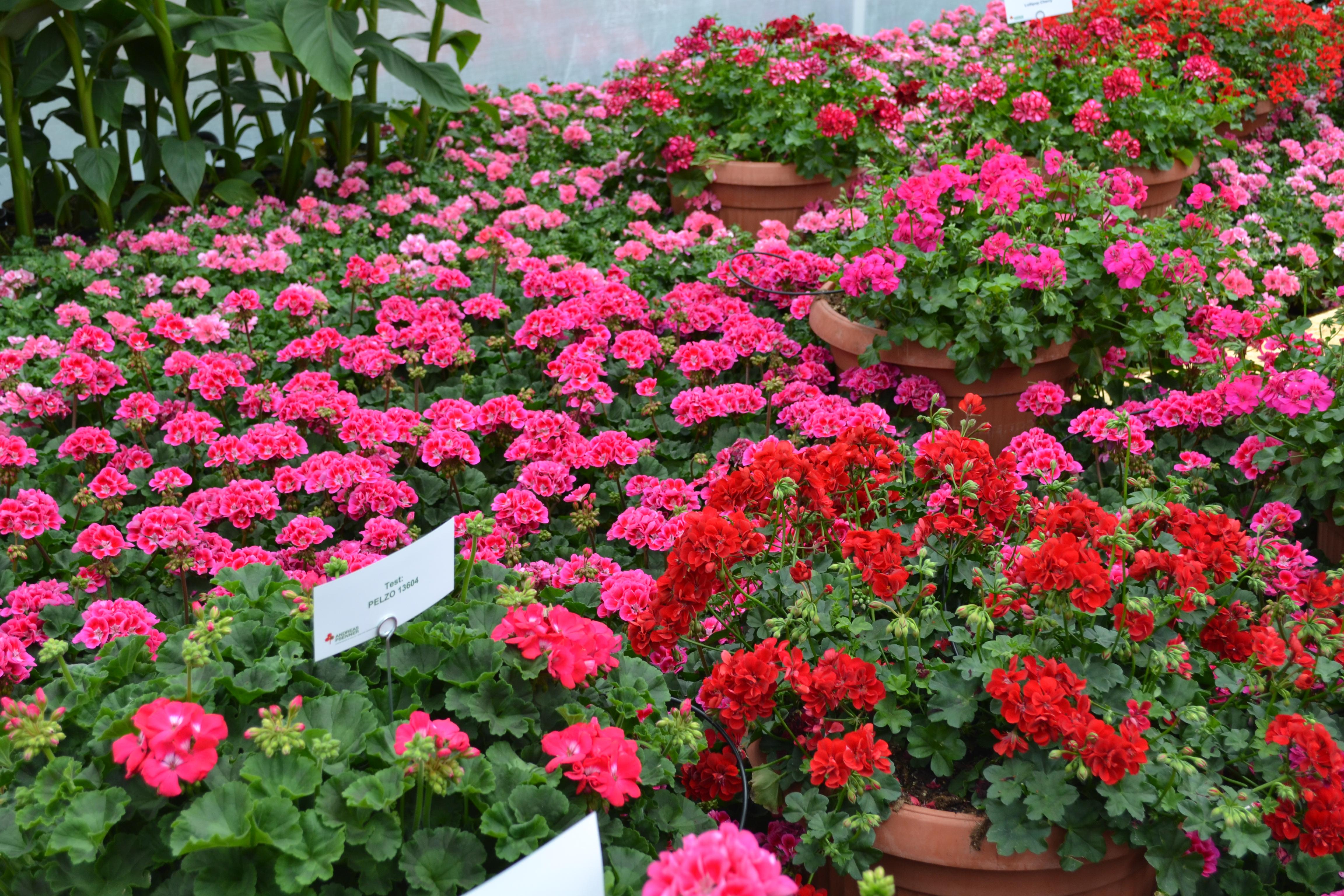 gerani surfinie piante annuali fiorite a soli 2 00 ForPiante Annuali