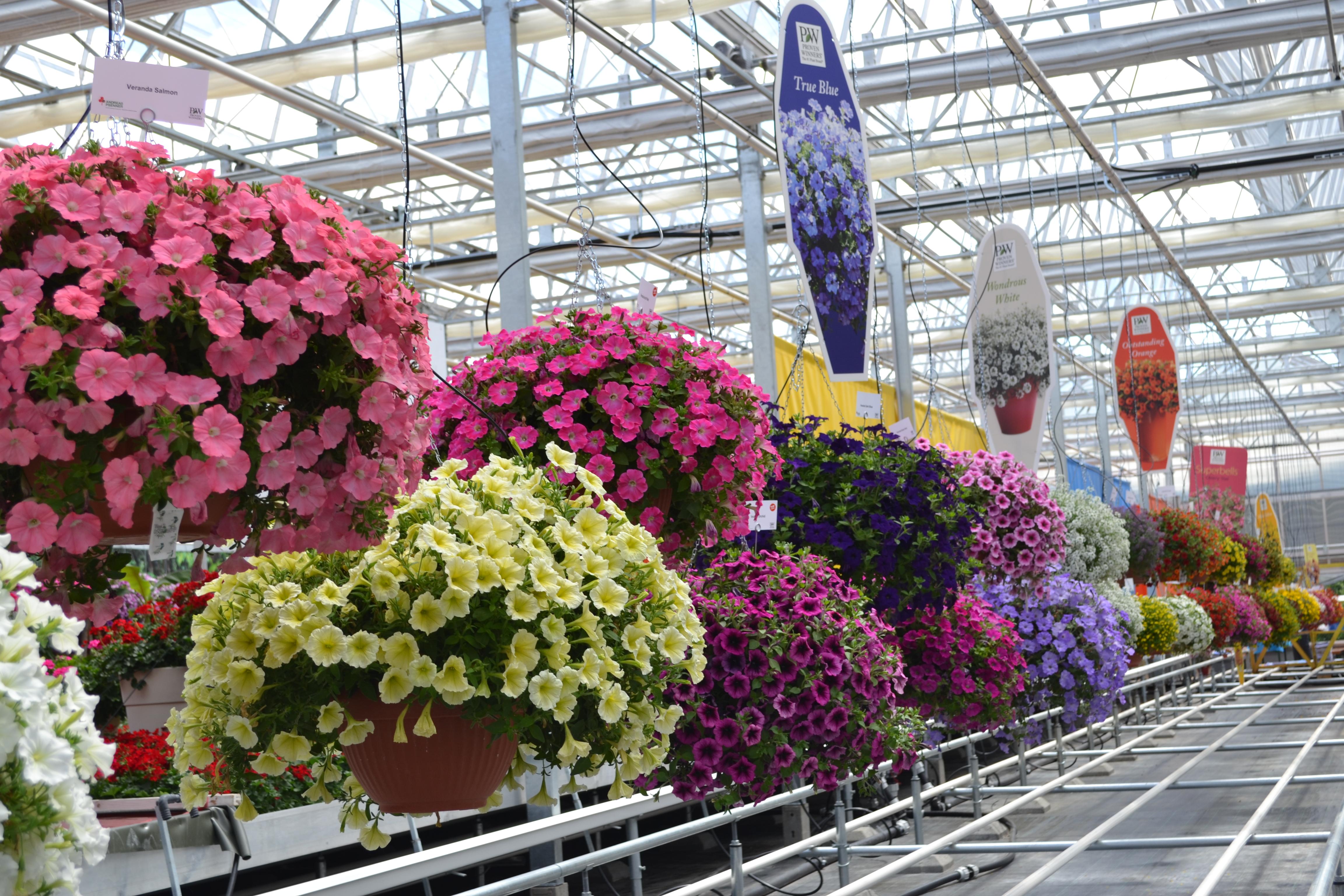 Piante Surfinie : Gerani surfinie piante annuali fiorite a soli