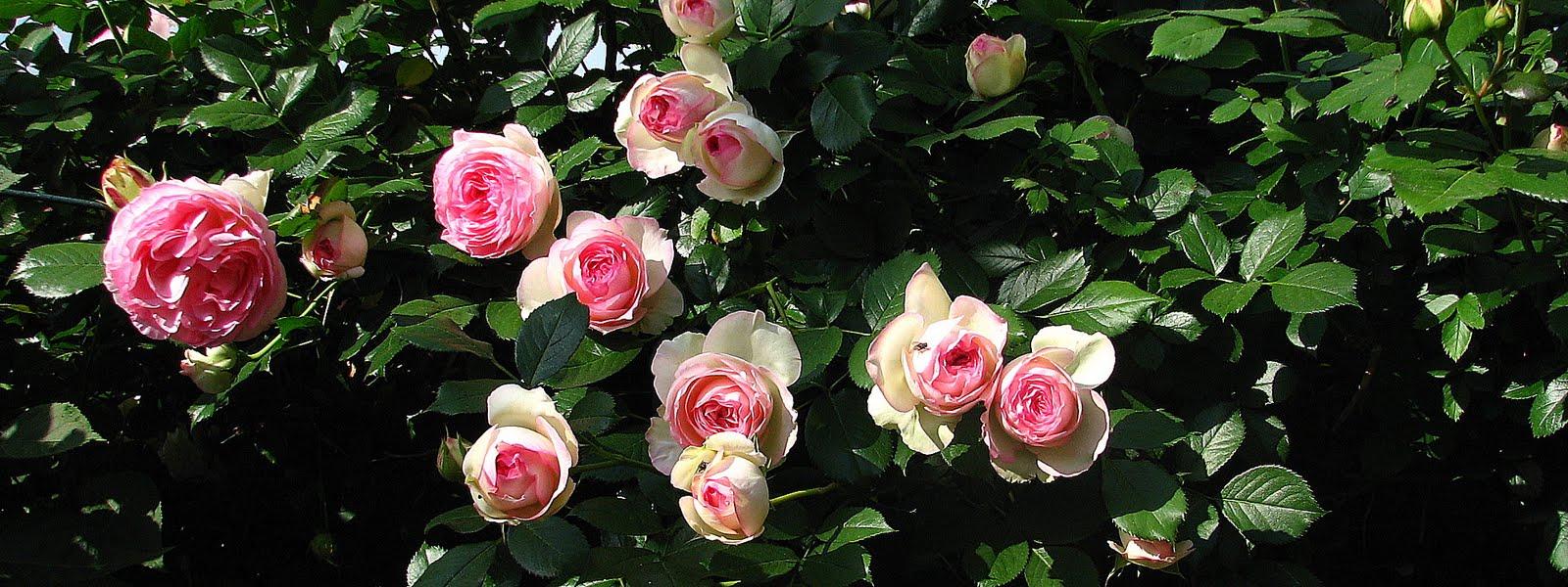 Rosa Rampicante In Vaso rose - una settimana dedicata alla regina dei fiori